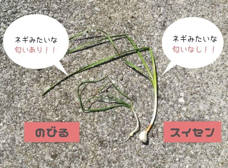 【のびるとスイセンの違い】食べると危険な野草には要注意!!